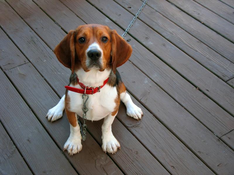 jak działa obroża przeciw kleszczom dla psa