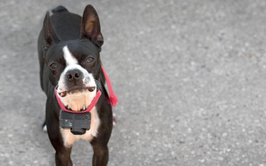 Jaką obrożę elektryczną dla psa wybrać w 2021 – Opinie oraz Ranking