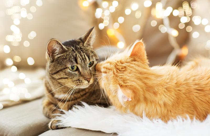 furminator dla kota krótkowłosego