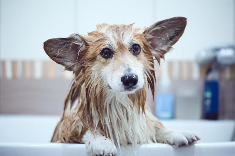jaki szampon dla psa