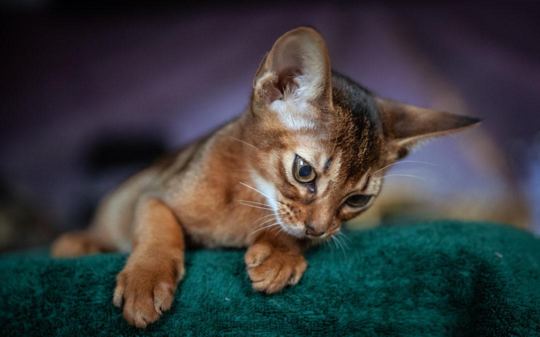 Kiedy wykastrować kota?