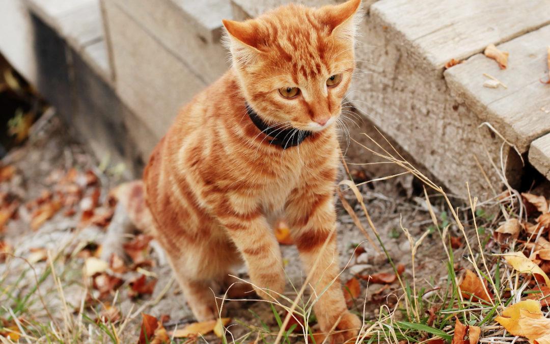 Jaką obrożę przeciw kleszczom dla kota wybrać w 2021 – Opinie oraz Ranking