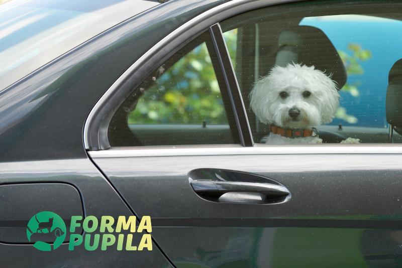 jak przewozić dużego psa w samochodzie